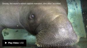 <font color='#0000ff'>[Video] Snooty the famous manatee dies in 'heartbreaking accident' days after his 69th birthday</font>